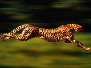 cheetah-running